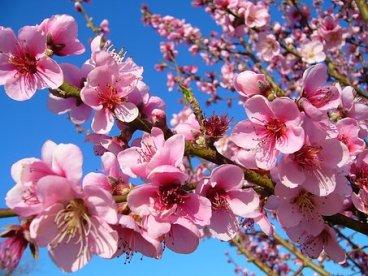 peach-1939218__340